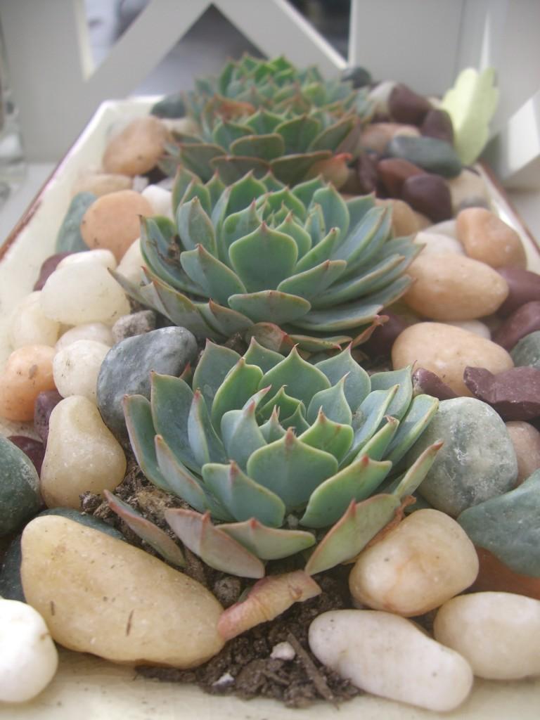Succulent Plant indoor rock garden