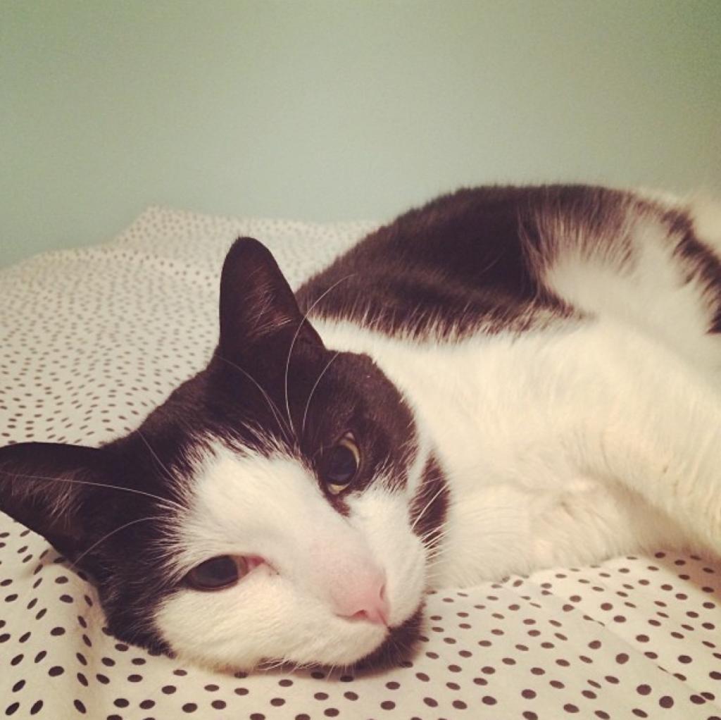 Pet Cat Adoption and Allergies