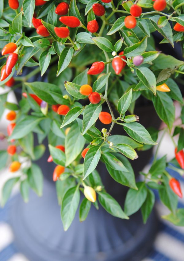 Front Porch Outdoor Decor for Fall {hello, Chili Peppers!}
