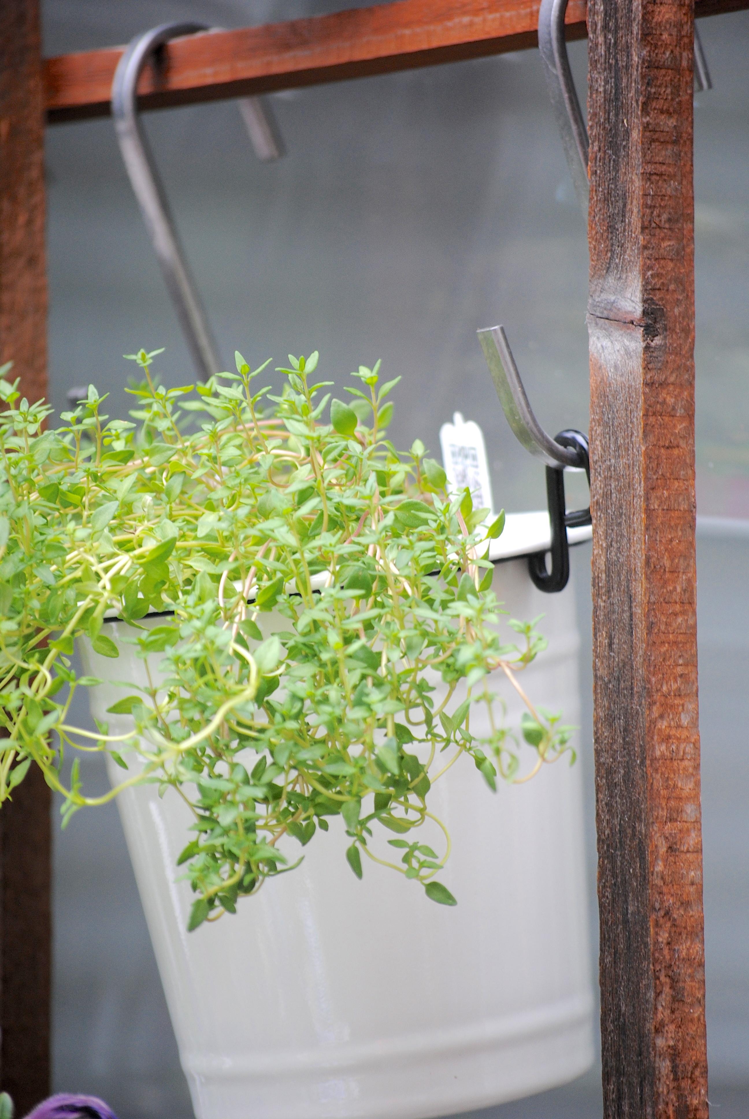 Basil Pots Herbs Garden