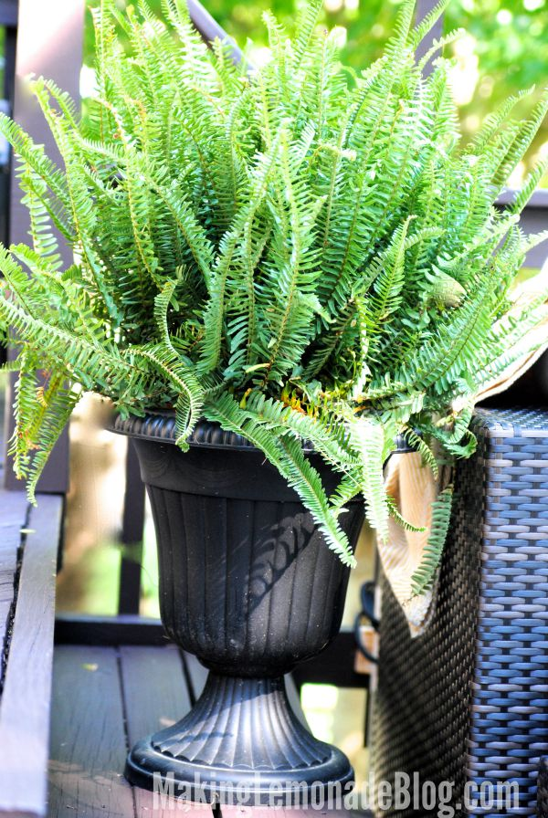 Fern on the patio